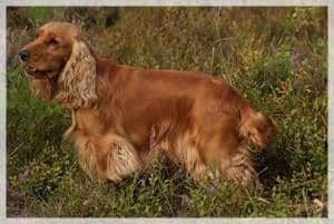 English Cocker Spaniel Links