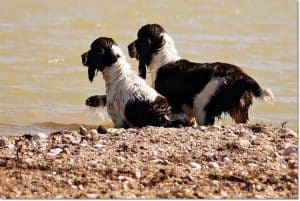 News, English Springer Spaniel Bayern