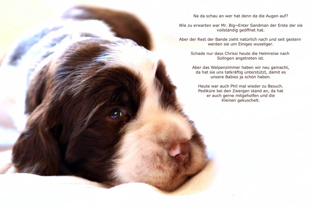 English Springer Spaniels, Tango´s Enter Sandman