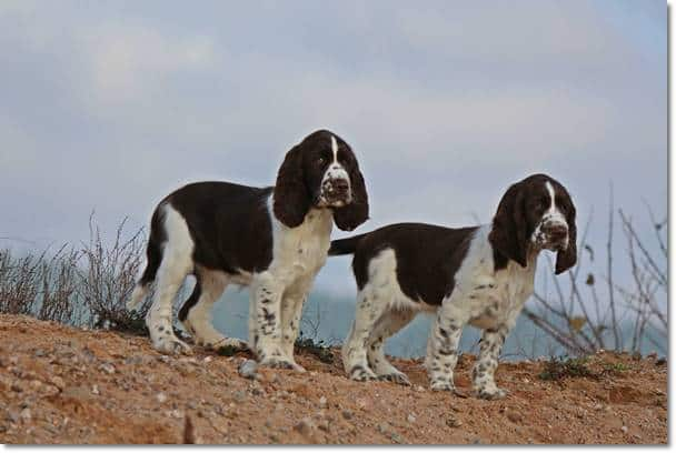 Tango´s English Springer Spaniel Welpen