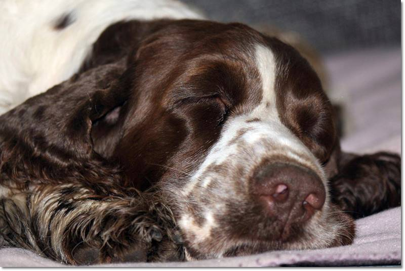 Tango´s English Springer Spaniel